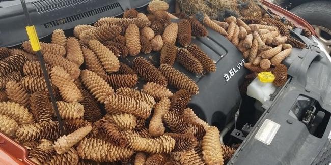 Белки спрятали в машине 22 килограмма сосновых шишек