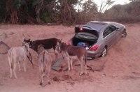 В ЮАР контрабандисты попытались вывезти «Мерседес» на ослах