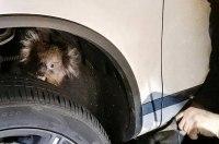 Коала спряталась в автомобильной подвеске и проехала 16 километров