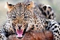 Леопард на два дня парализовал работу крупнейшего автозавода в Индии