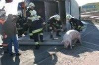 Вегетарианка устроила аварию, испугавшись грузовика со свиньями