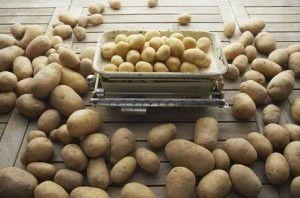 В Кабмине подсчитывают сколько Украина получит картофельного биотоплива
