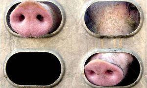В Австрии опрокинулся грузовой автомобиль, возивший 200 свиней