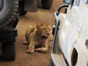 Лев преследовал машины на трассе в Соединенных Штатах